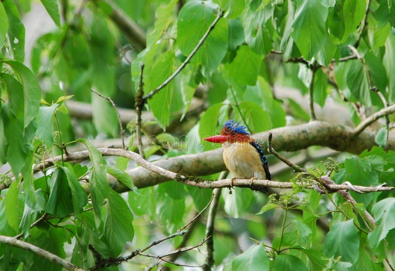 соединенный kingfisher стоковая фотография