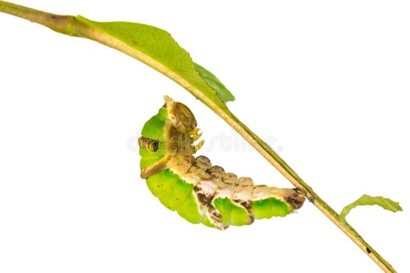 Созрейте соединенная гусеница Swallowtail стоковое изображение