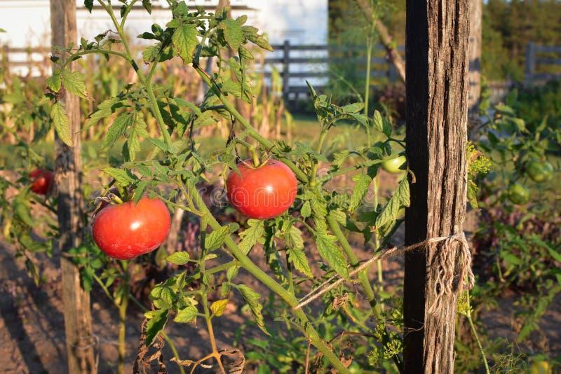 созретая лоза томатов стоковые изображения rf