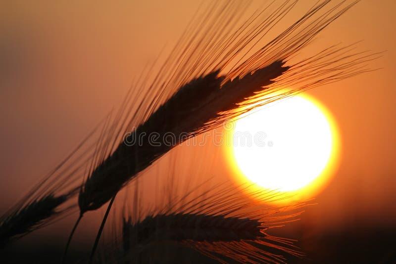 созретое готовое хлебоуборки зерна стоковое фото rf