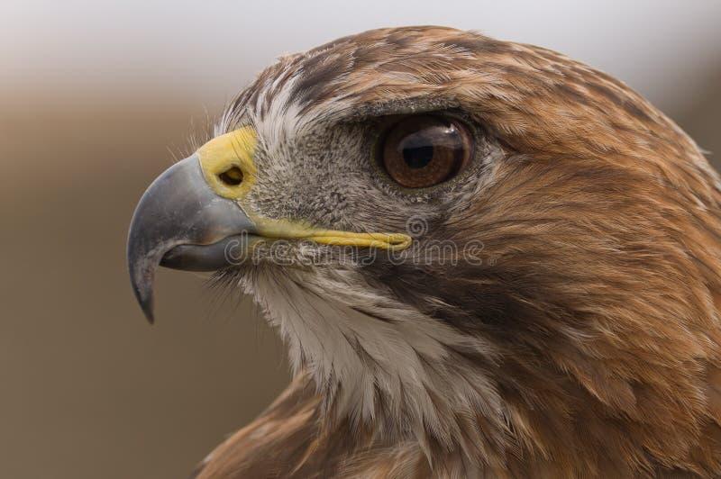 сокол крупного плана смотря prey стоковые изображения