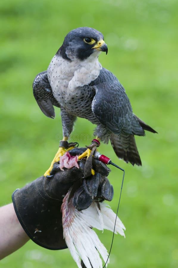 Сокол чужеземца (peregrinus Falco на тренировке стоковые изображения
