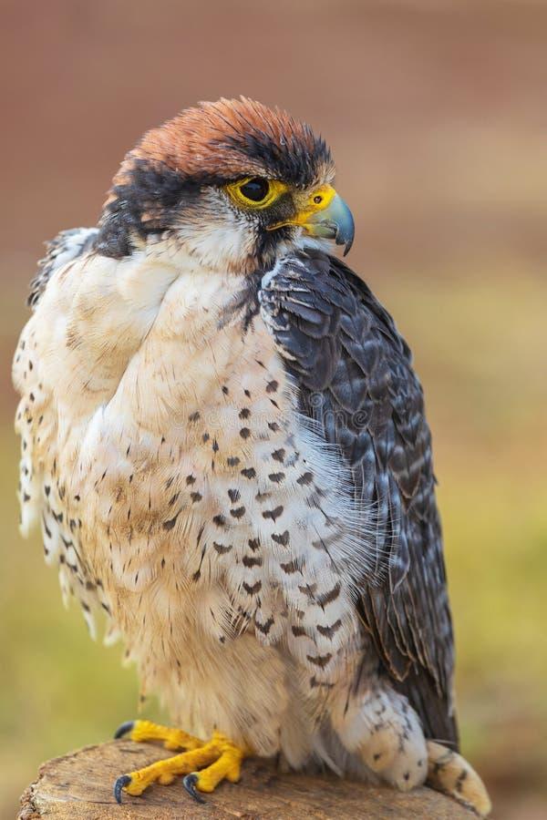 Сокол Lanner - biarmicus Falco сидя на журнале ища добыча стоковые изображения rf