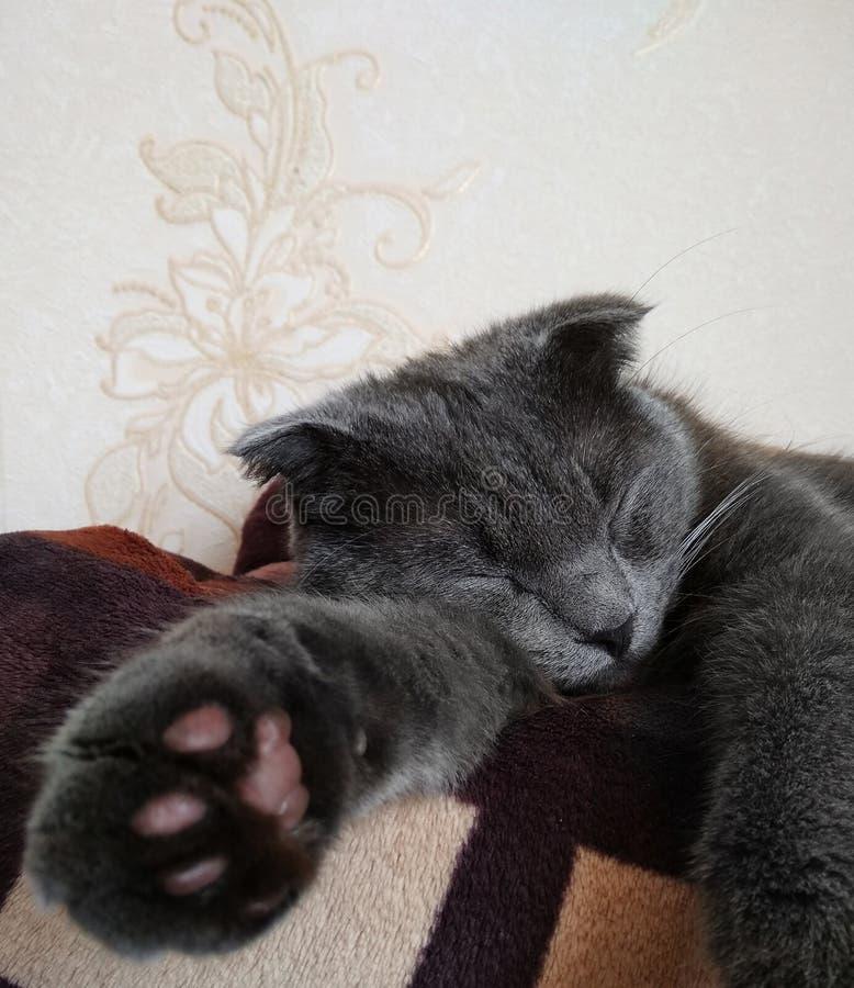 Сокращать-ушастый серый кот спать на софе стоковые изображения