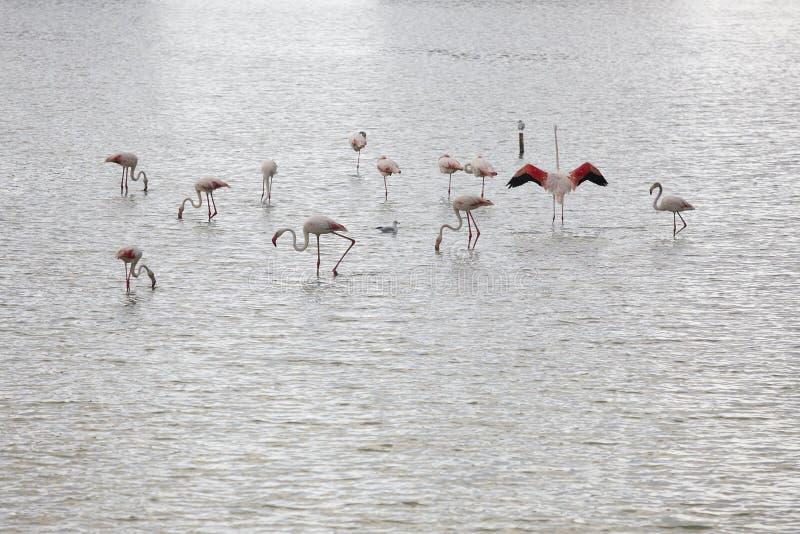 Соленое болото с фламинго рождений Аликанте Испания стоковое фото rf