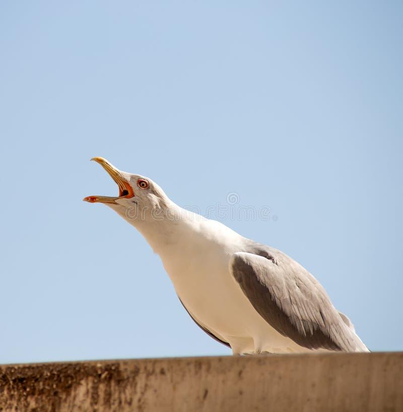 Солитарная чайка стоя на крыше со своим ртом открытым, кричащий стоковые изображения