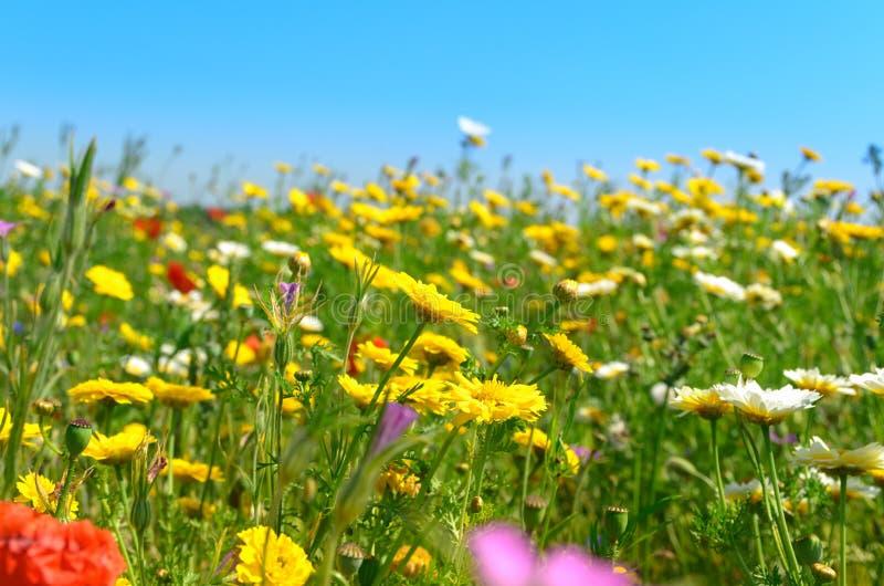 Солнечное поле одичалых цветков стоковая фотография rf