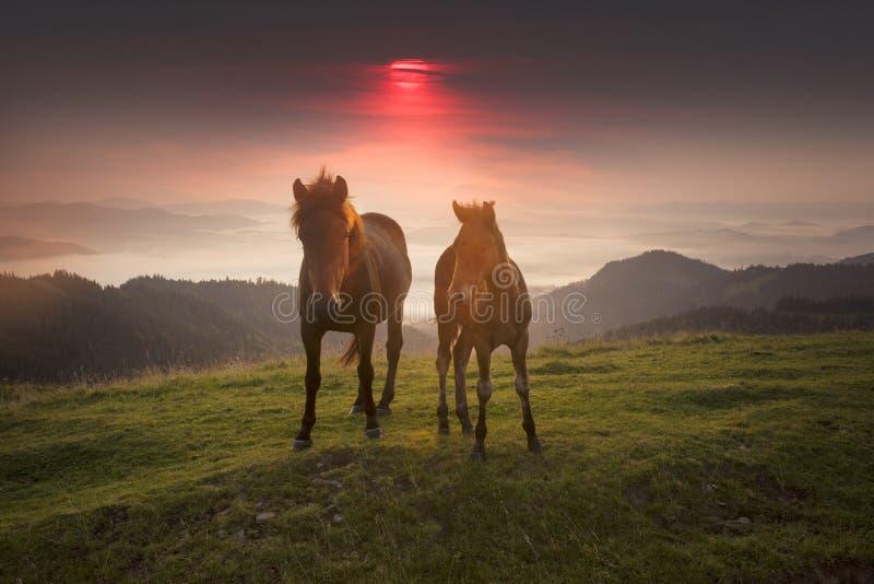 Солнечное утро и свободные лошади пасут на верхней части среди диких прикарпатских панорам Украины все лето и осень, и на зима стоковые изображения