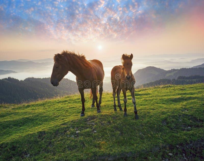 Солнечное утро и свободные лошади пасут на верхней части среди диких прикарпатских панорам Украины все лето и осень, и на зима стоковое фото