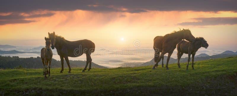 Солнечное утро и свободные лошади пасут на верхней части среди диких прикарпатских панорам Украины все лето и осень, и на зима стоковая фотография rf