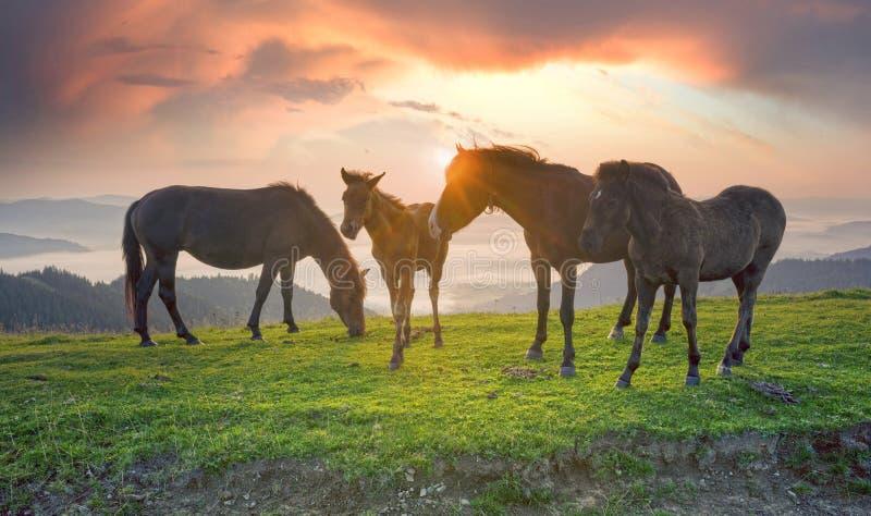 Солнечное утро и свободные лошади пасут на верхней части среди диких прикарпатских панорам Украины все лето и осень, и на зима стоковые фото