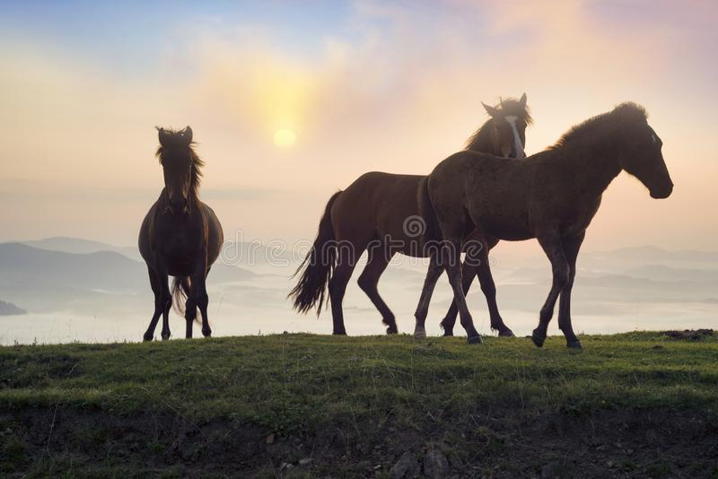 Солнечное утро и свободные лошади пасут на верхней части среди диких прикарпатских панорам Украины все лето и осень, и на зима стоковые фотографии rf