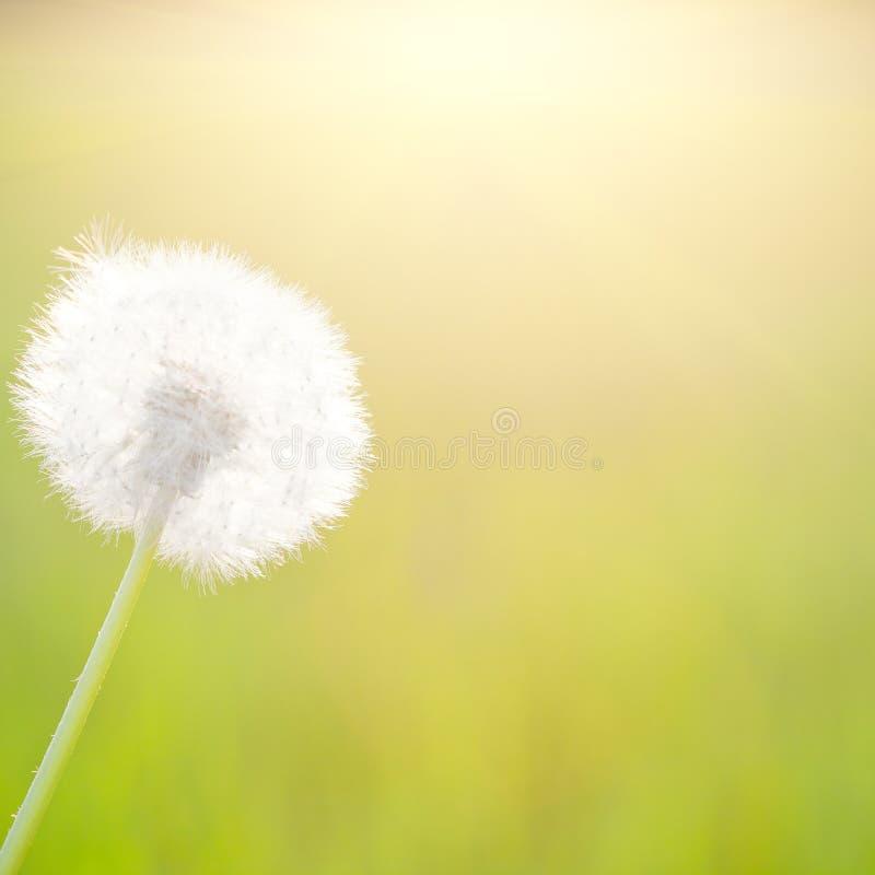 солнечность весны одуванчика стоковые изображения rf