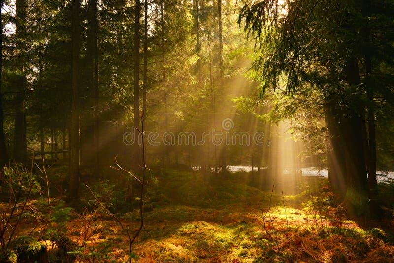 Солнечные лучи в глубокой древесине в утре лета стоковые фотографии rf