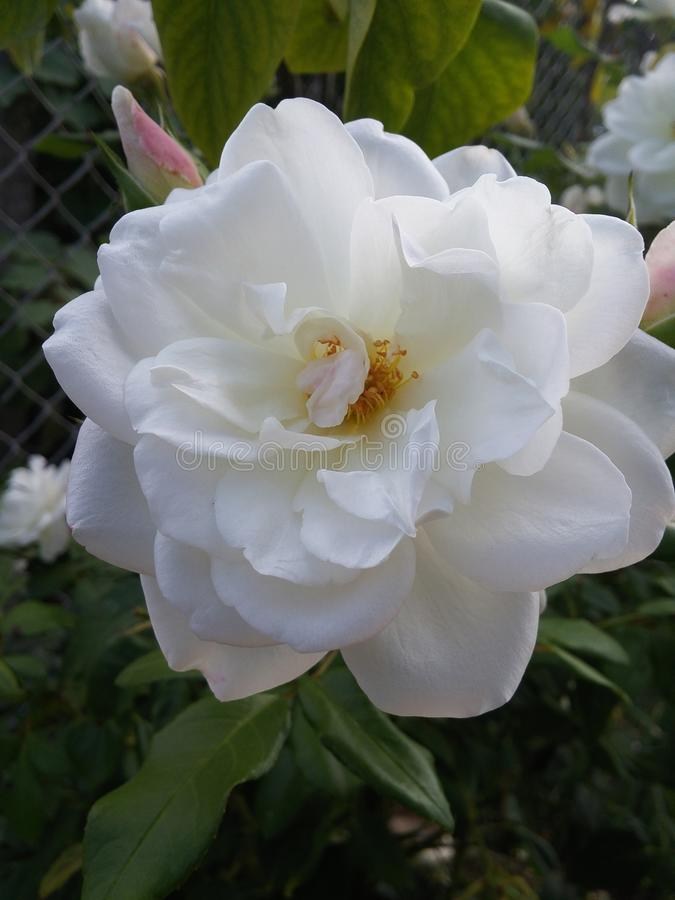 Солнечный день в взгляде белых цветков Kyustendil Болгарии славном стоковые изображения