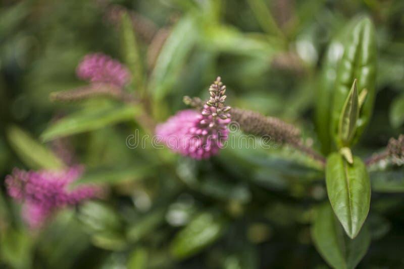 Солнечный день в Лондоне - розовых цветках и темных ых-зелен листьях стоковое изображение