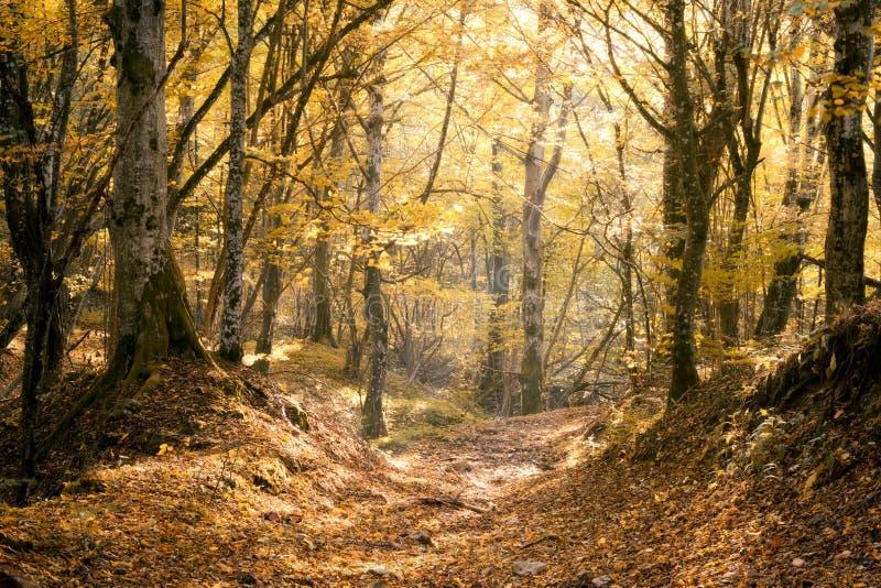 Солнечный лес осени бука стоковое фото rf