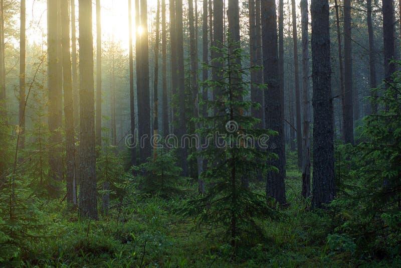 Солнечный луч делает свой путь через деревья в лесе сосны туманном стоковая фотография rf