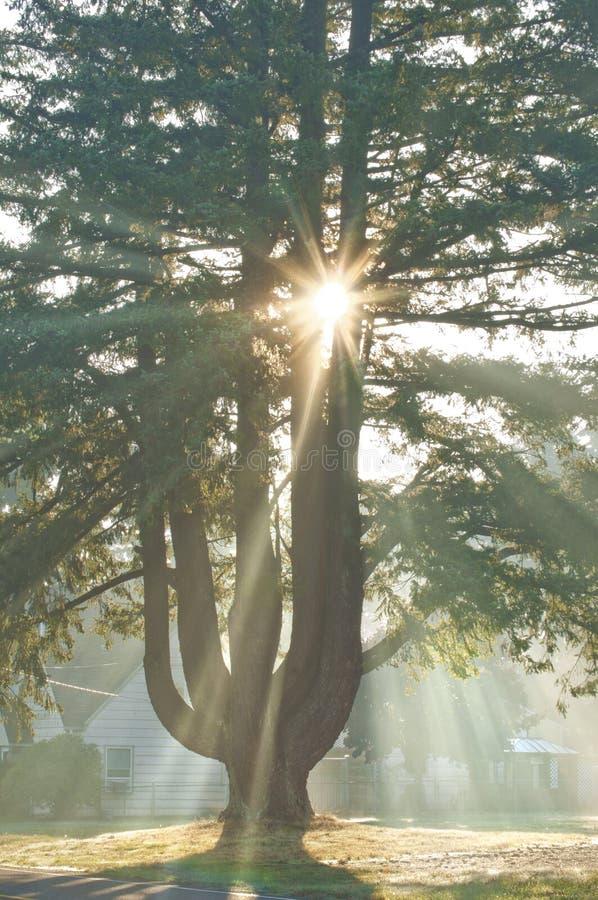 Солнечный луч с солнцем излучает светить вниз от неба через ветви сосны стоковое фото