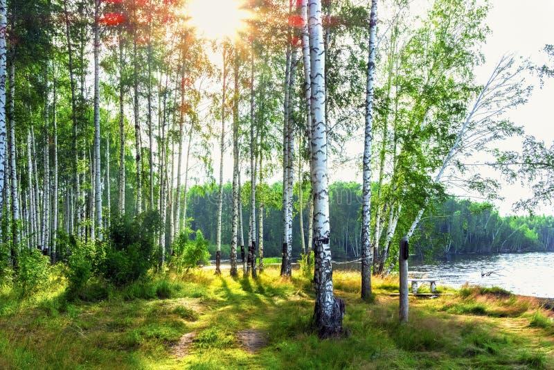 Солнечный свет в роще березы Восход солнца в лесе березы на банках реки стоковое фото rf