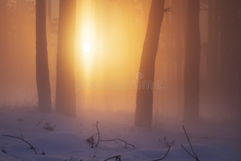 Солнечный свет в солнце туманного леса зимы живом в полесье Туман и туман в природе Snowy леса в восходе солнца стоковые изображения