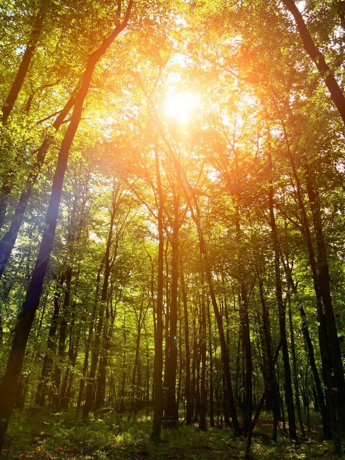 Солнечный свет идя через деревья древесин петли следа Fernridge стоковая фотография rf
