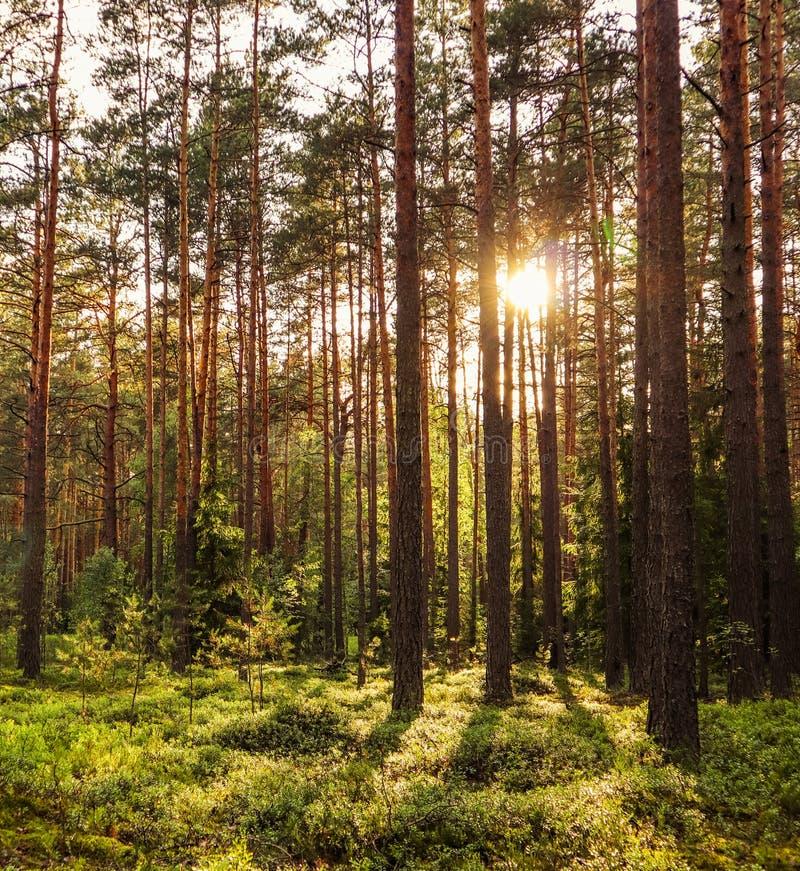 Солнечный свет на деревьях в сосновом лесе на заходе солнца стоковое фото rf