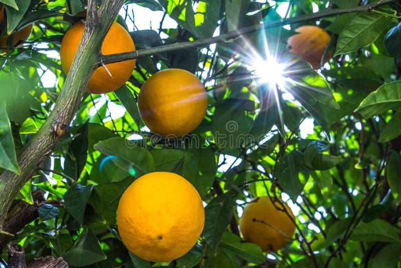 Солнечный свет пропуская через дерево лимона стоковая фотография