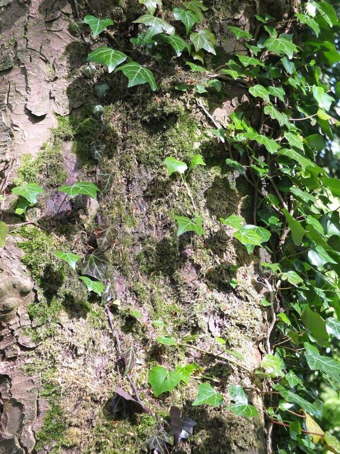 Солнечный свет светя на плюще растя на дереве бука стоковая фотография rf