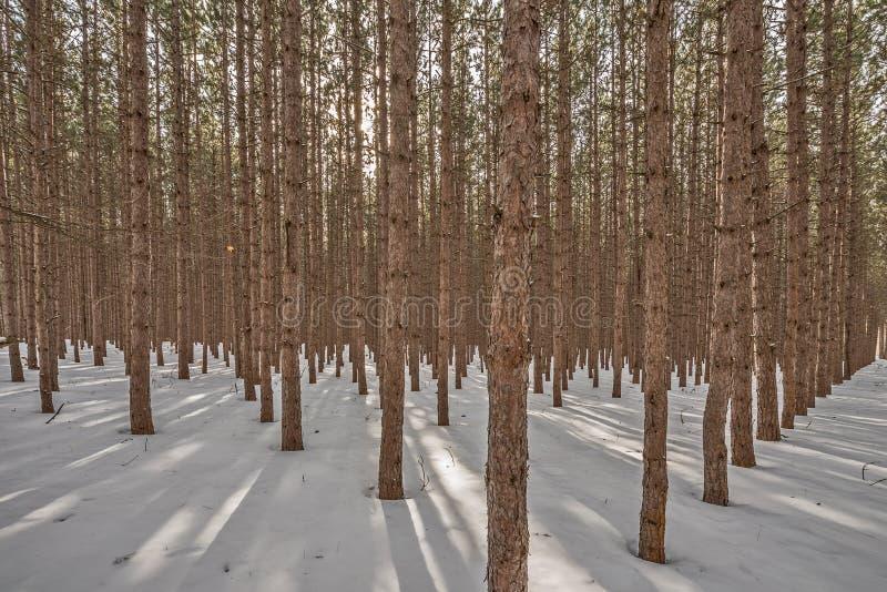 Солнечный свет фильтруя через сосновый лес стоковые фото