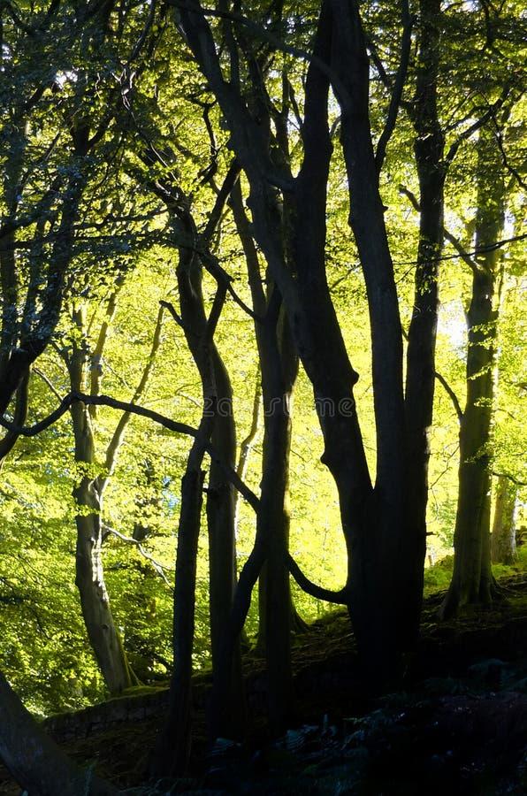 Солнечный свет через красивое полесье бука весны с накаляя листвой яркого ого-зелен утра освещающей и черными стволами дерева вну стоковые изображения rf