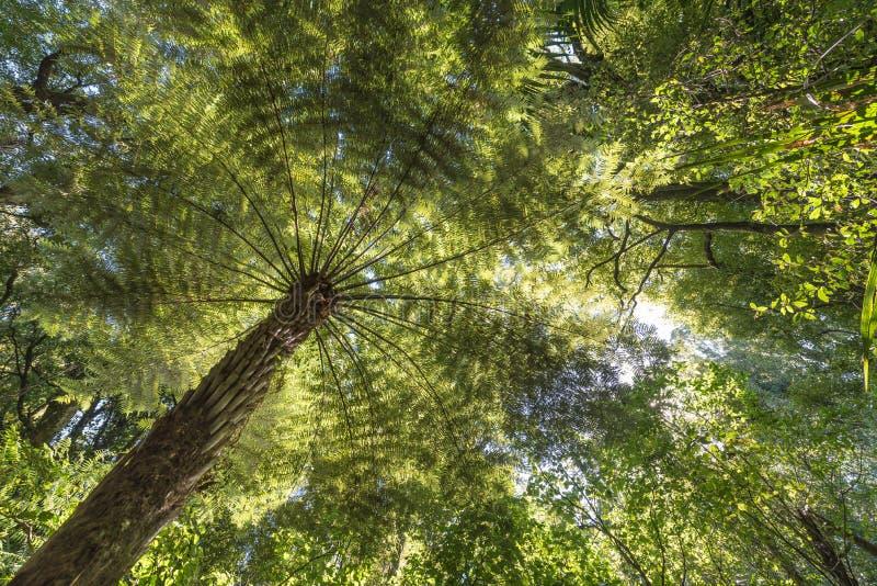 Солнечный свет через полог леса освещая вверх по дереву папоротника стоковое фото