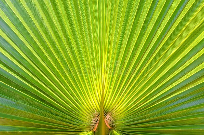 Солнечный свет agaist лист ладони Абстрактная зеленая предпосылка текстуры Закройте вверх, скопируйте космос стоковое изображение