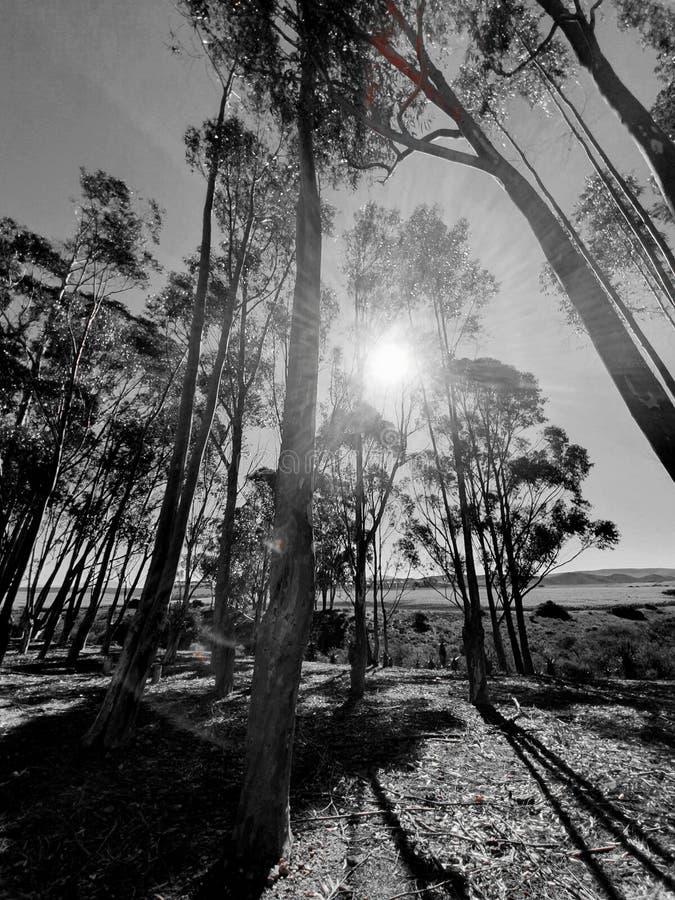Солнечный свет monochrome высоких деревьев стоковое изображение rf