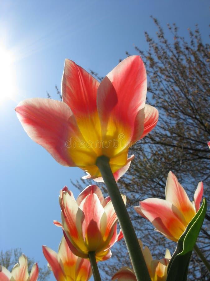 солнечный тюльпан стоковое изображение