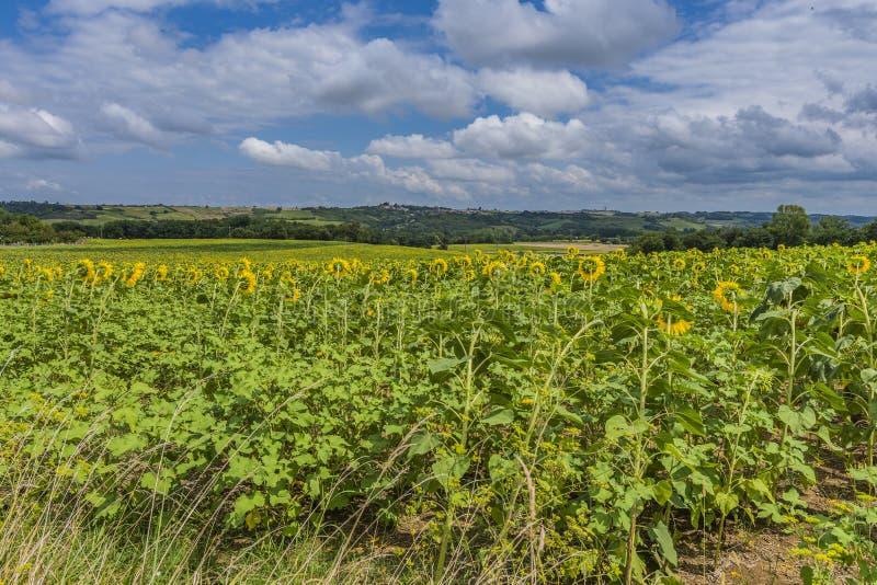 Солнцецветы в атлантических Пиренеи aquitaine Франция стоковое изображение