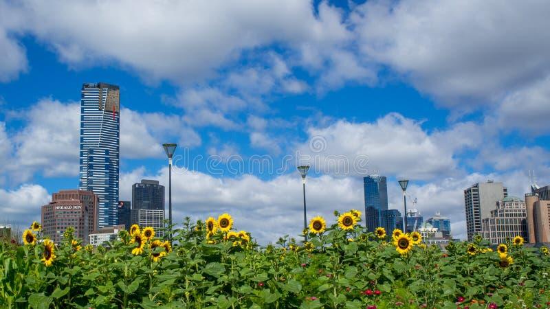 Солнцецветы в переднем горизонте города Мельбурна стоковая фотография