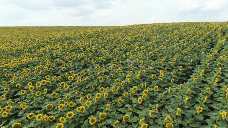 Солнцецветы в поле Красивые поля с солнцецветами летом стоковые изображения rf