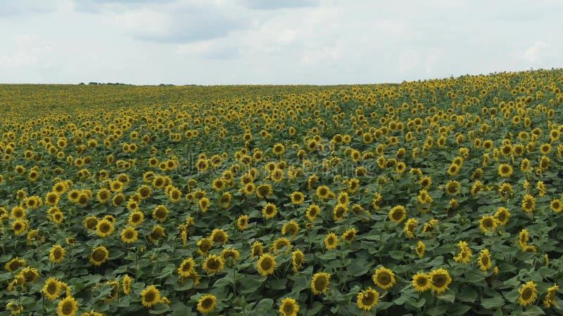 Солнцецветы в поле Красивые поля с солнцецветами летом стоковое фото rf