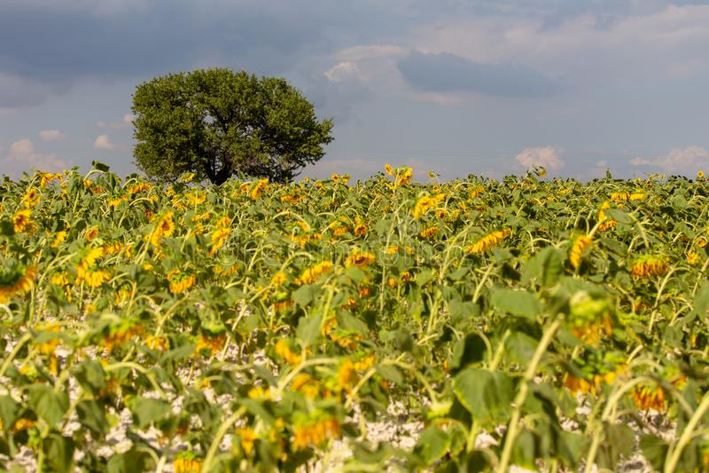 Солнцецветы в поле с головами обхватывали вниз облачное небо Селективный фокус стоковые фото