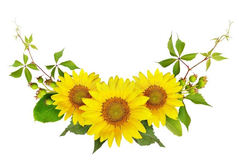Солнцецветы, зеленые ягоды и листья одичалой виноградины в лете a стоковые фото
