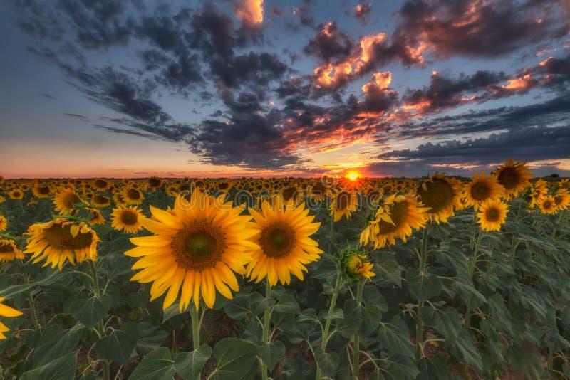 Солнцецветы на заходе солнца стоковая фотография