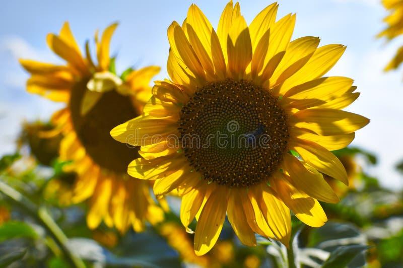 Солнцецветы на поле стоковые фото