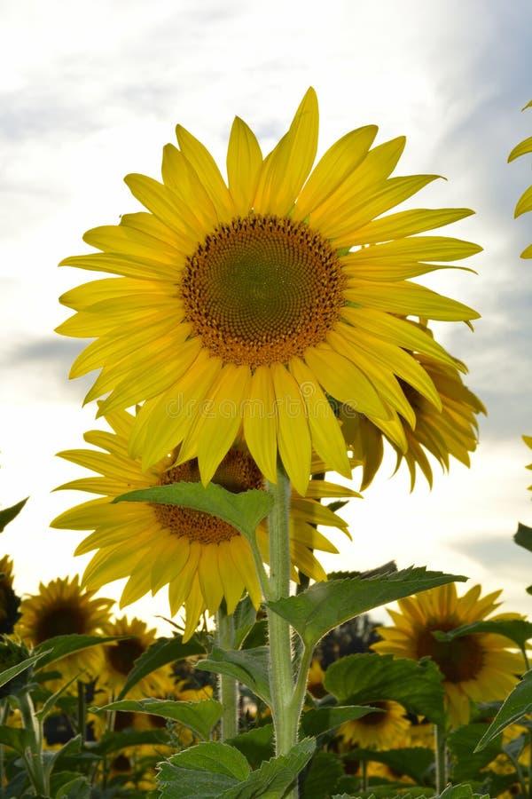 Солнцецветы на поле стоковая фотография