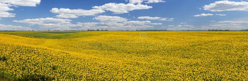 Солнцецветы, панорама стоковые фото