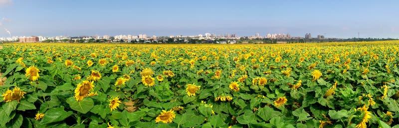 солнцецветы поля сельские стоковое фото rf