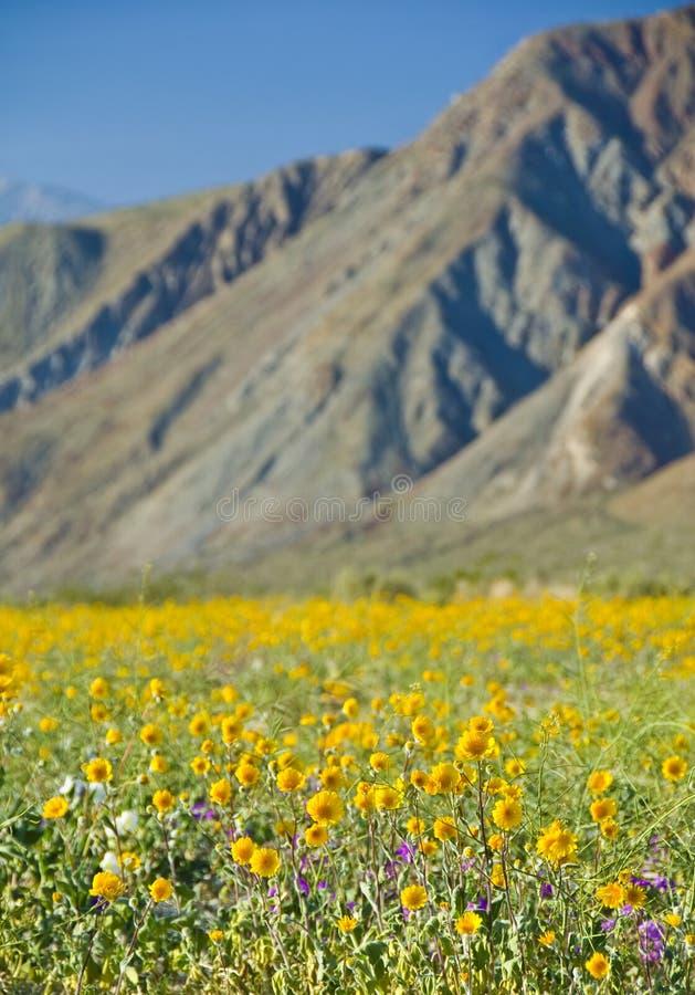 солнцецветы пустыни стоковое изображение rf