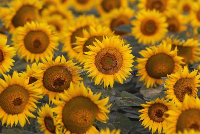 Солнцецветы радуясь в солнце стоковая фотография