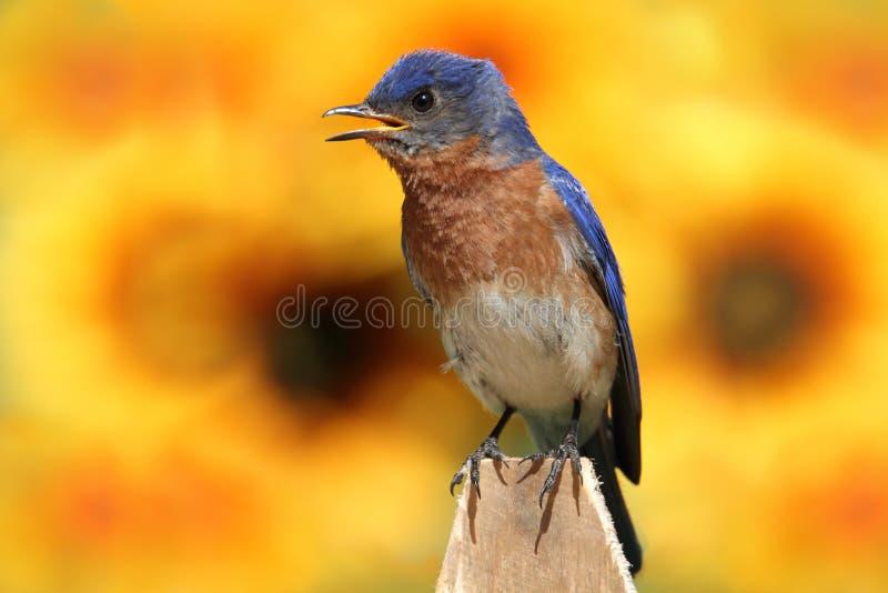 солнцецветы синей птицы восточные стоковые изображения