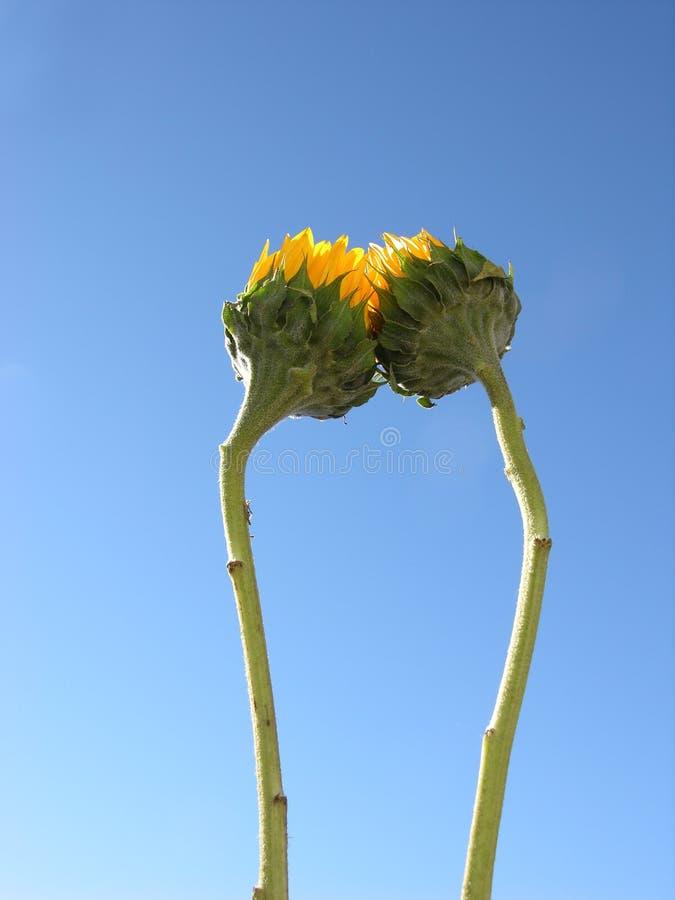 Download солнцецветы совместно стоковое фото. изображение насчитывающей небо - 82450